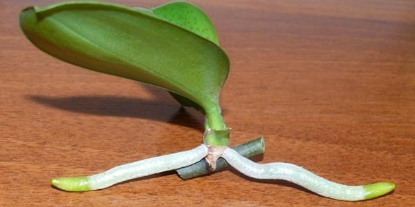 Размножение орхидей в домашних условиях видео