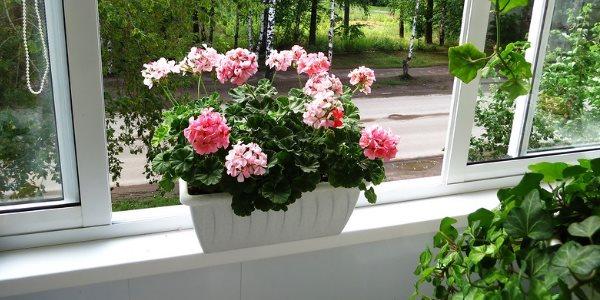 Герань на окне
