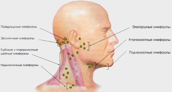 Структура лимфоузлов