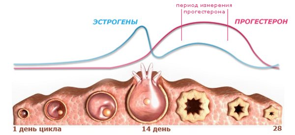 Прогестерон в организме