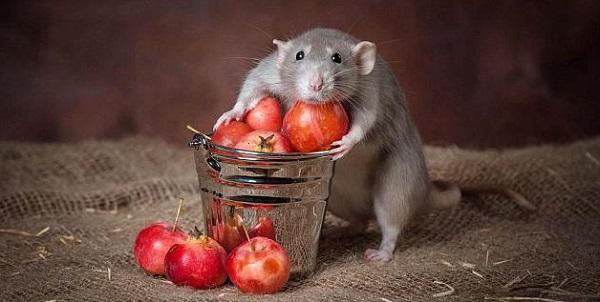 Крыса во сне