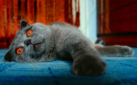 Снится кошка
