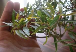 Пожелтевшие листья у фикуса