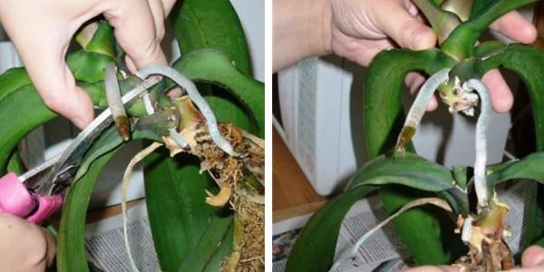 Деление орхидей