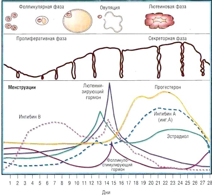 Фазы цикла