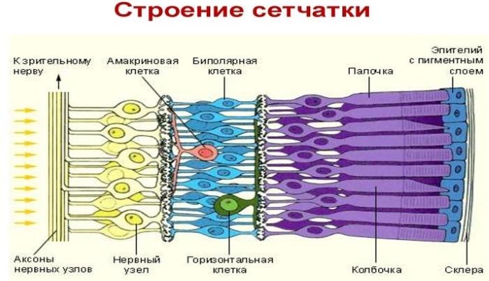 Сетчатка