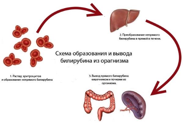 Узнаем норму билирубина в крови у женщин