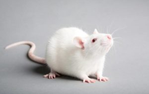 Белая крыса