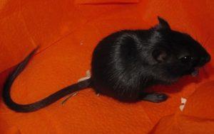 Черная крыса
