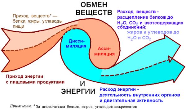 процесс обмена веществ