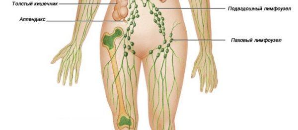 Паховые лимфатические узлы у женщин