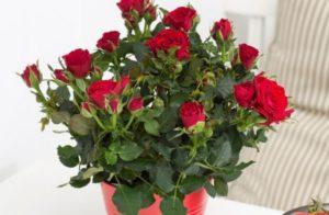 цветущие розы в горшке