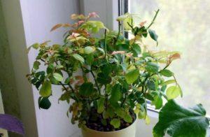 болезнь комнатного растения
