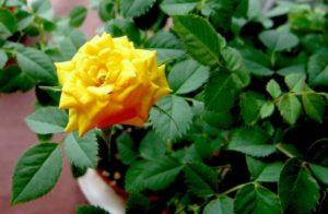 желтая домашняя роза
