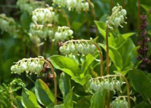 цветы боровой матки