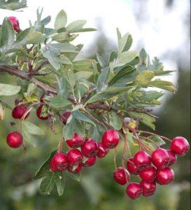 спелые плоды боярышника