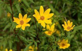 желтые цветки череды