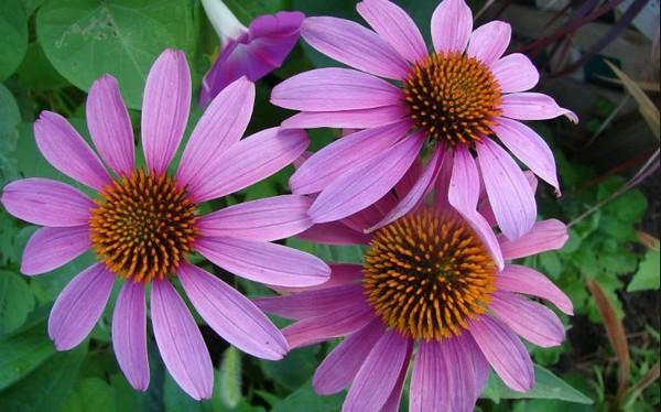 цветы эхинацеи пурпурной