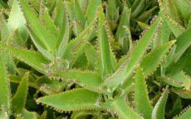 рассада лечебного растения
