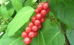 плоды и листья лимонника