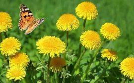 бабочка и желтые цветы