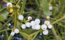 плоды белой омелы