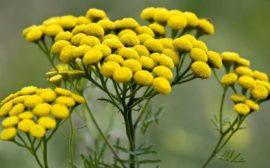 желтые цветы растения