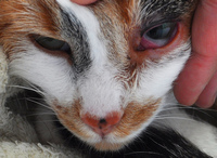 Хламидоз у кошек