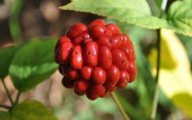 яркие плоды растения