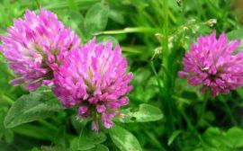 яркие цветки клевера