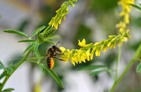 пчела и цветок растения